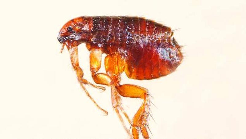 Bolha kötelező parazita