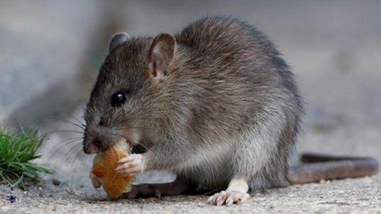 patkányirtás módszerei