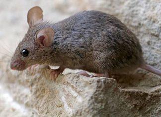 gipszkarton felett szaladgáló egerek ellen