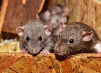 patkány elleni védekezés