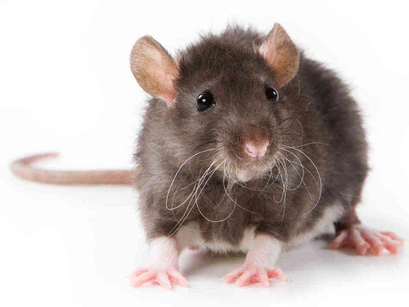 patkány fajták