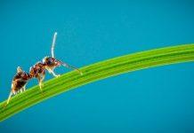 hangya ellen a kertben